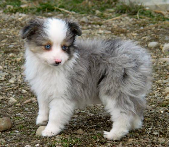 Toy Mini Australian Shepherd Breeder Of Aussie Pups